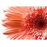 Фотообои виниловые на флизелиновой основе Decocode Персиковая гербера 41-0193-FR 4х2,8 м